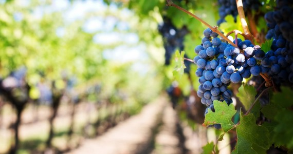 ripe-grapes-in-vineyard-uhd